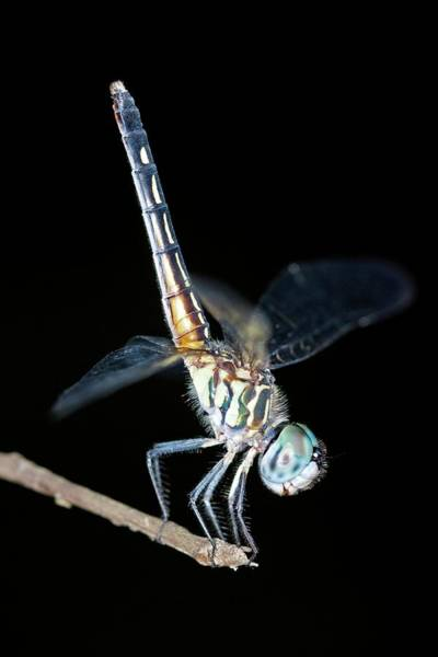 Blue Dragonfly Photograph - Blue Dasher Dragonfly by Clay Coleman/science Photo Library