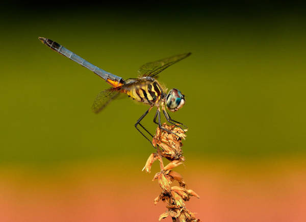 Photograph - Blue Dasher Dragonfly by William Jobes