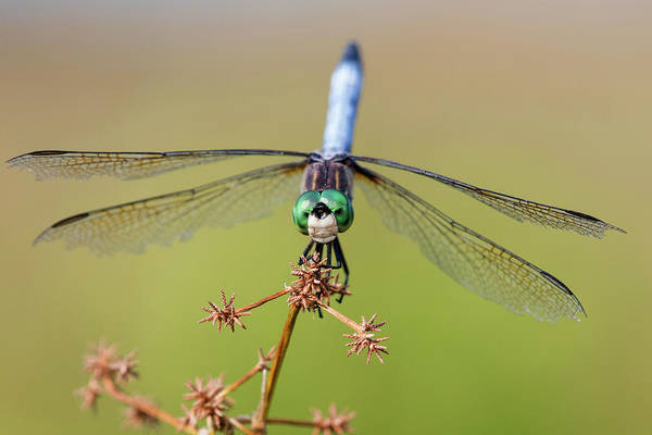 Blue Dragonfly Photograph - Blue Dasher Male In Wetland Marion by Richard and Susan Day