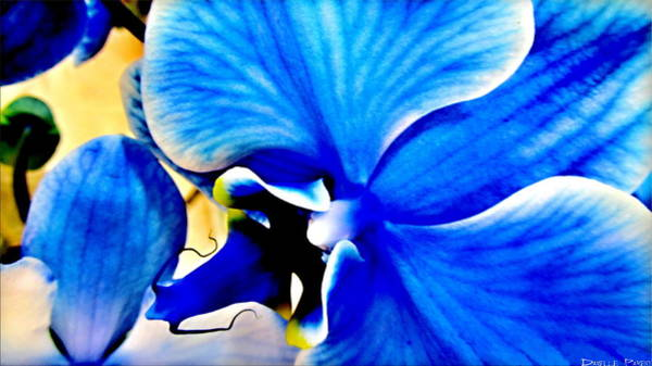 Photograph - Blue Diamond Orchid Close Up by Danielle  Parent