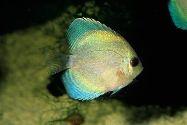 Wall Art - Photograph - Blue Discus Symphysodon Aequifasciata by Jeanne White