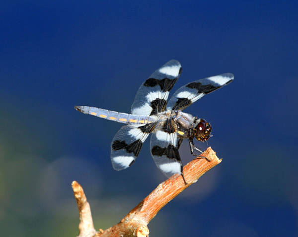Blue Dragonfly Photograph - Blue by Donna Kennedy