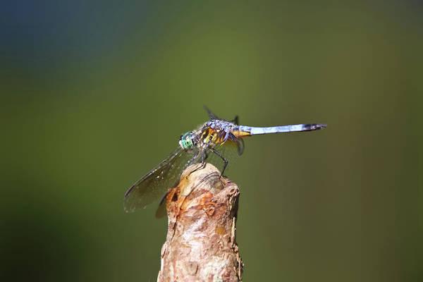 South Carolina Photograph - Blue Dragonfly by Daniela Duncan