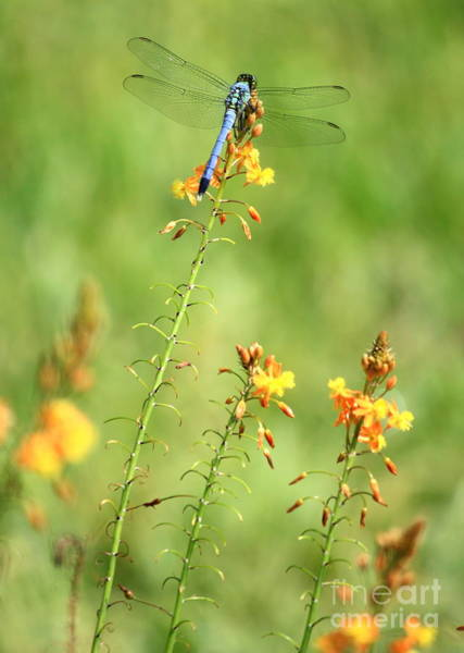 Blue Dragonfly Photograph - Blue Dragonfly In The Flower Garden by Carol Groenen