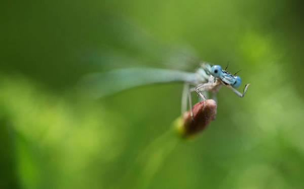 Wall Art - Photograph - Blue Dragonfly Sitting On A Dry Red Plant by Jaroslaw Blaminsky