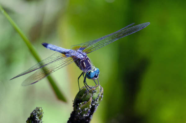 Photograph - Blue Dragonfly by Jim Shackett