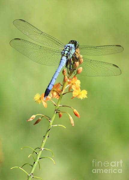 Photograph - Blue Dragonfly On Yellow Flower by Carol Groenen
