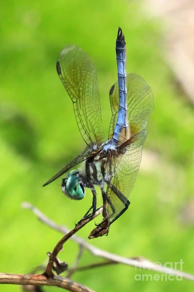 Photograph - Blue Dragonfly Pose by Carol Groenen