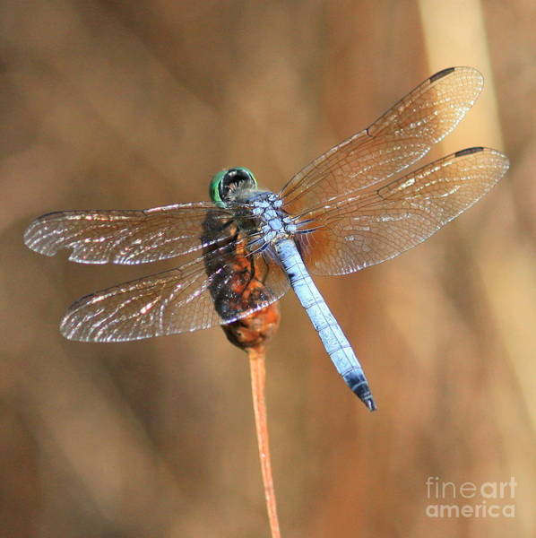Blue Dragonfly Photograph - Blue Dragonfly Square by Carol Groenen