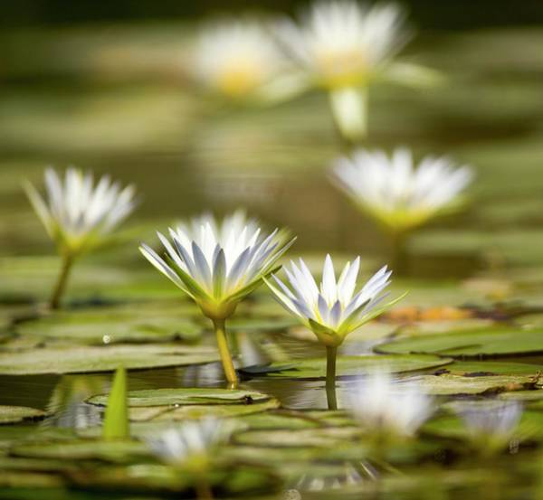 Lilly Pad Photograph - Blue Egyptian Lotus Nymphaea Caerulea by Photostock-israel