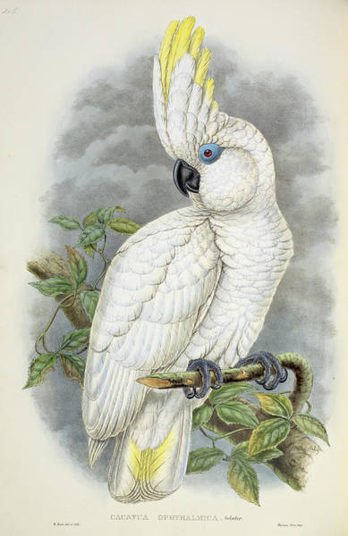 Wall Art - Painting - Blue-eyed Cockatoo by William Hart