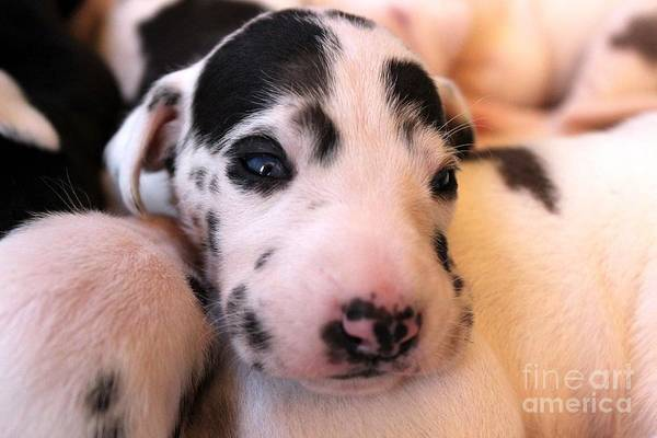Photograph - Blue Eyed Great Dane Pup by Janice Byer