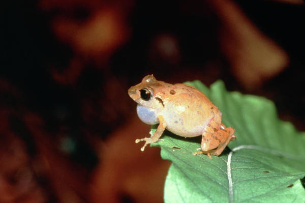 Wall Art - Photograph - Blue-eyed Tink Frog by Dr Morley Read/science Photo Library