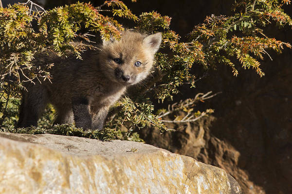 Wall Art - Photograph - Blue Eyes Baby Fox by Mircea Costina Photography