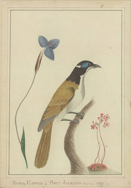 Australian Fauna Wall Art - Photograph - Blue-faced Honeyeater And Flowers Artwork by Natural History Museum, London/science Photo Library