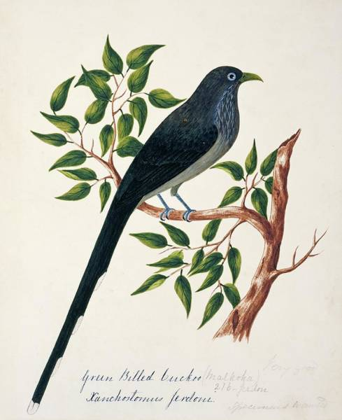 Tree Face Photograph - Blue-faced Malkoha by Natural History Museum, London/science Photo Library