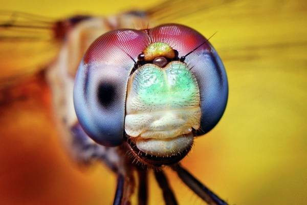 Blue Dragonfly Photograph - Blue-faced Meadowhawk Dragonfly by Thomas Shahan/science Photo Library