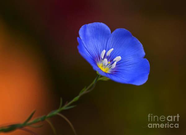 Single Flower Photograph - Blue Flax Blossom by Iris Richardson