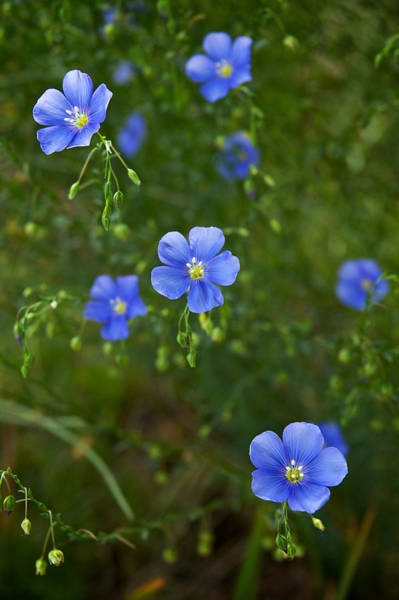 Photograph - Blue Flax by Mary Lee Dereske