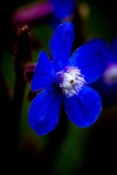 Photograph - Blue Flower by Edgar Laureano