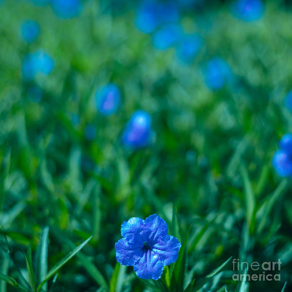 Photograph - Blue Flower by Julian Cook