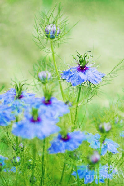 Wall Art - Photograph - Blue Flowers by Diana Kraleva