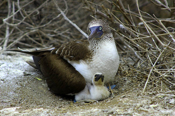 Puerto Plata Photograph - Blue Footed Boobie And Chick On A Nest by Robert Hamm