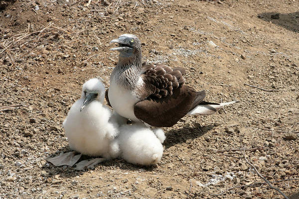 Puerto Plata Photograph - Blue Footed Boobie And Chicks by Robert Hamm