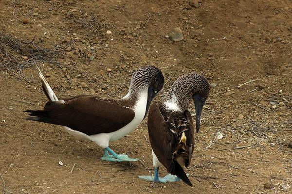 Puerto Plata Photograph - Blue Footed Boobies Mating by Robert Hamm