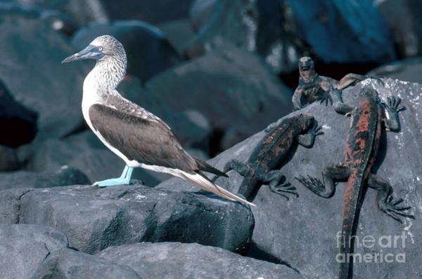 Blue Footed Booby Wall Art - Photograph - Blue-footed Booby And Iguanas by Art Wolfe