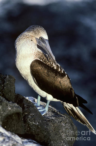 Blue Footed Booby Wall Art - Photograph - Blue-footed Booby by Art Wolfe