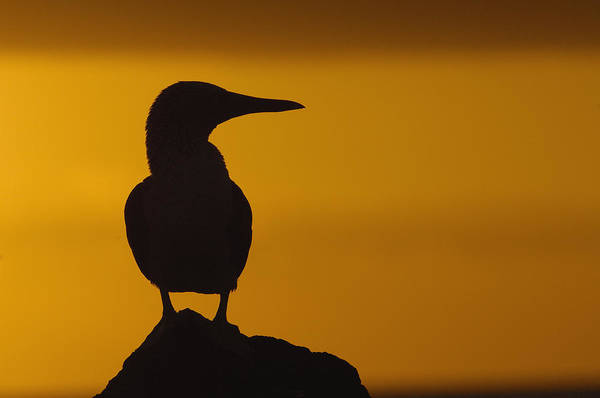 North Seymour Island Photograph - Blue-footed Booby At Sunset Galapagos by Pete Oxford
