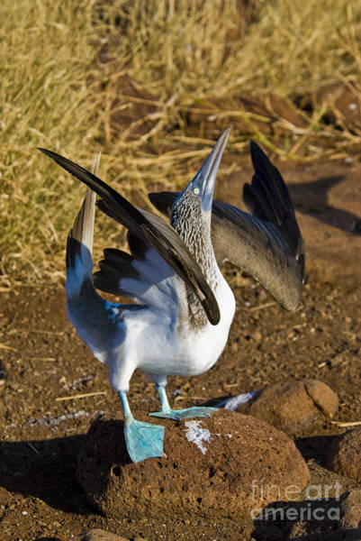 Blue Footed Booby Wall Art - Photograph - Blue-footed Booby Courtship Behavior by William H. Mullins