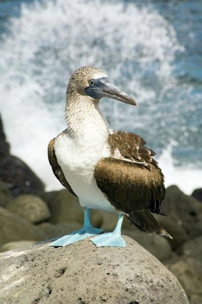 Blue Footed Booby Wall Art - Photograph - Blue-footed Booby by Daniel Sambraus
