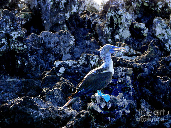 Blue Footed Booby Wall Art - Photograph - Blue-footed Booby In The Galapagos by Al Bourassa