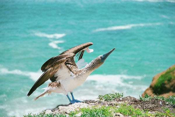 Blue Footed Booby Wall Art - Photograph - Blue-footed Booby by Julia Davila-lampe