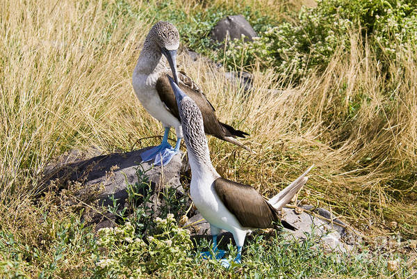 Blue Footed Booby Wall Art - Photograph - Blue-footed Booby Pair by William H. Mullins