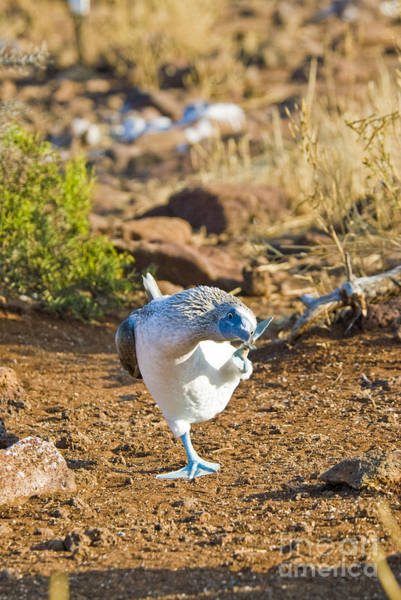 Blue Footed Booby Wall Art - Photograph - Blue-footed Booby Scratching Head by William H. Mullins