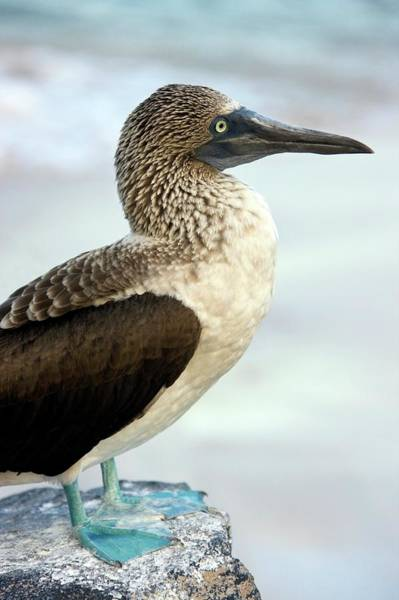 Blue Footed Booby Wall Art - Photograph - Blue-footed Booby by Steve Allen/science Photo Library