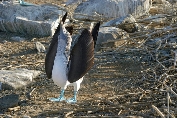 Blue Footed Booby Wall Art - Photograph - Blue-footed Booby by Sue Ford/science Photo Library