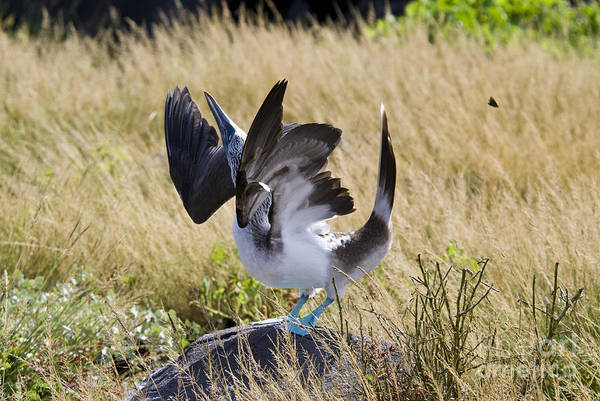 Blue Footed Booby Wall Art - Photograph - Blue-footed Courtship Behavior by William H. Mullins
