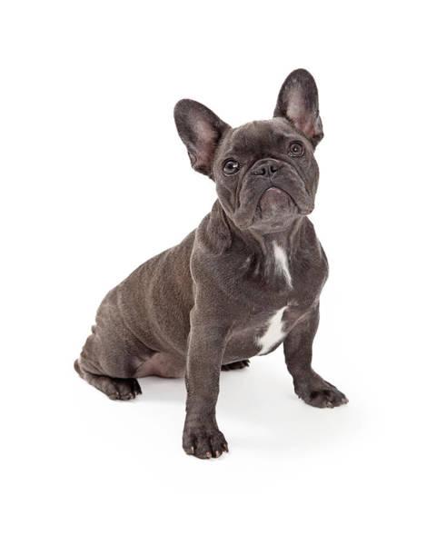 French Bulldog Photograph - Blue French Bulldog  by Susan Schmitz