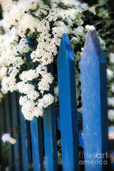 Wall Art - Photograph - Blue Garden Fence With White Flowers by Elena Elisseeva