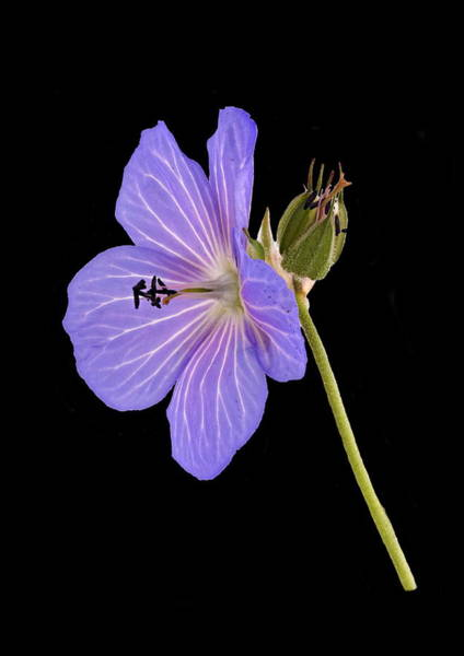 Photograph - Blue Geranium - Black Background by Paul Gulliver