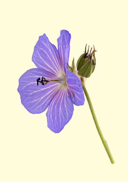 Photograph - Blue Geranium - Cream Background by Paul Gulliver
