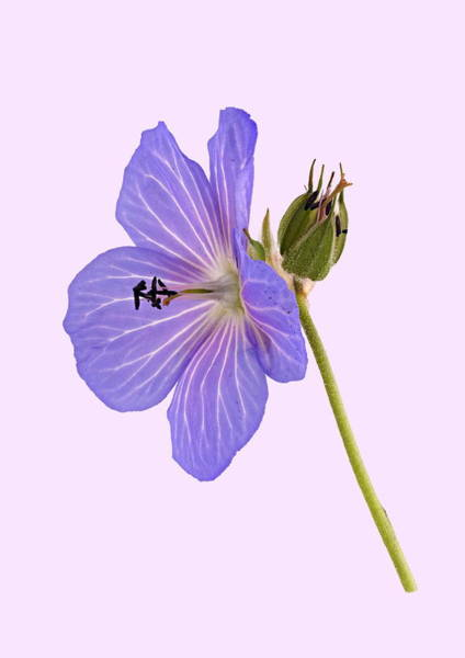 Photograph - Blue Geranium - Mauve Background by Paul Gulliver
