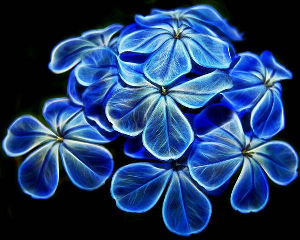 Plumbaginaceae Photograph - Blue Glow by Judy Vincent