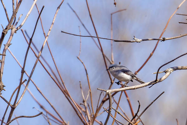 Photograph - Blue-gray Gnatcatcher by Jack R Perry