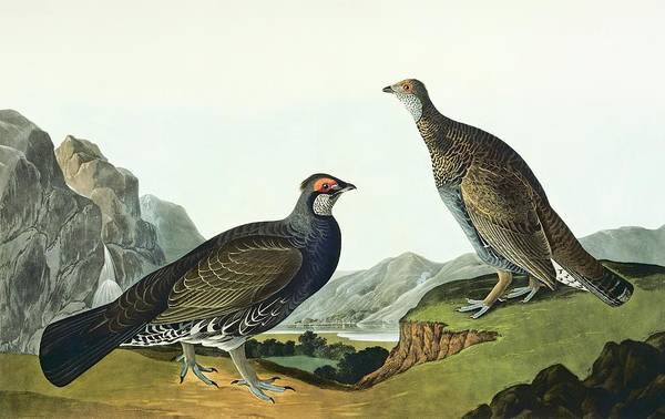 Moorland Photograph - Blue Grouse by Natural History Museum, London/science Photo Library
