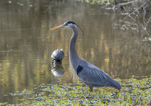 Photograph - Blue Heron And Friend by Loree Johnson